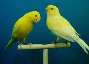 zwei schöne Kanarienvögel